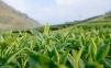 Чай зеленый Сиху Лунцзин Lepinlecha 100 г 4